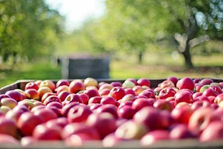 jabłka w sadzie